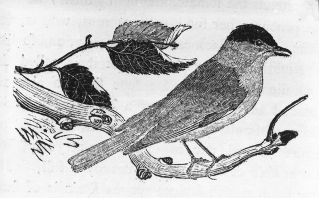 Detail of The Black-Cap by Thomas Bewick