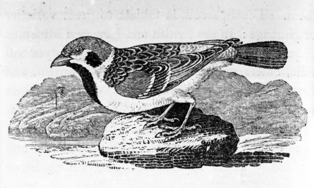 Detail of The Mountain Sparrow by Thomas Bewick