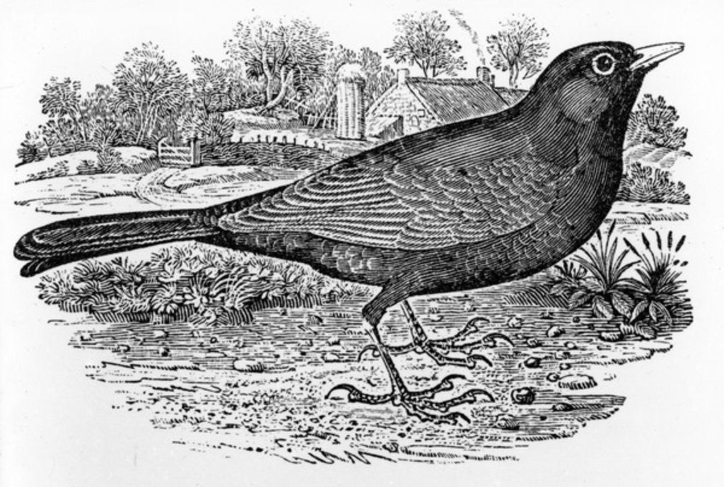 Detail of The Blackbird by Thomas Bewick