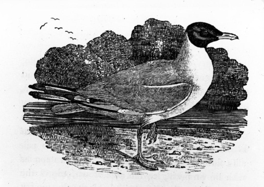 Detail of Black-Headed Gull by Thomas Bewick