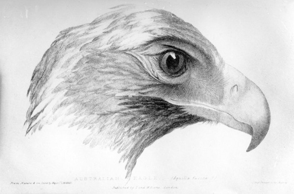 Detail of Australian Eagle by Major Sir Thomas Mitchell