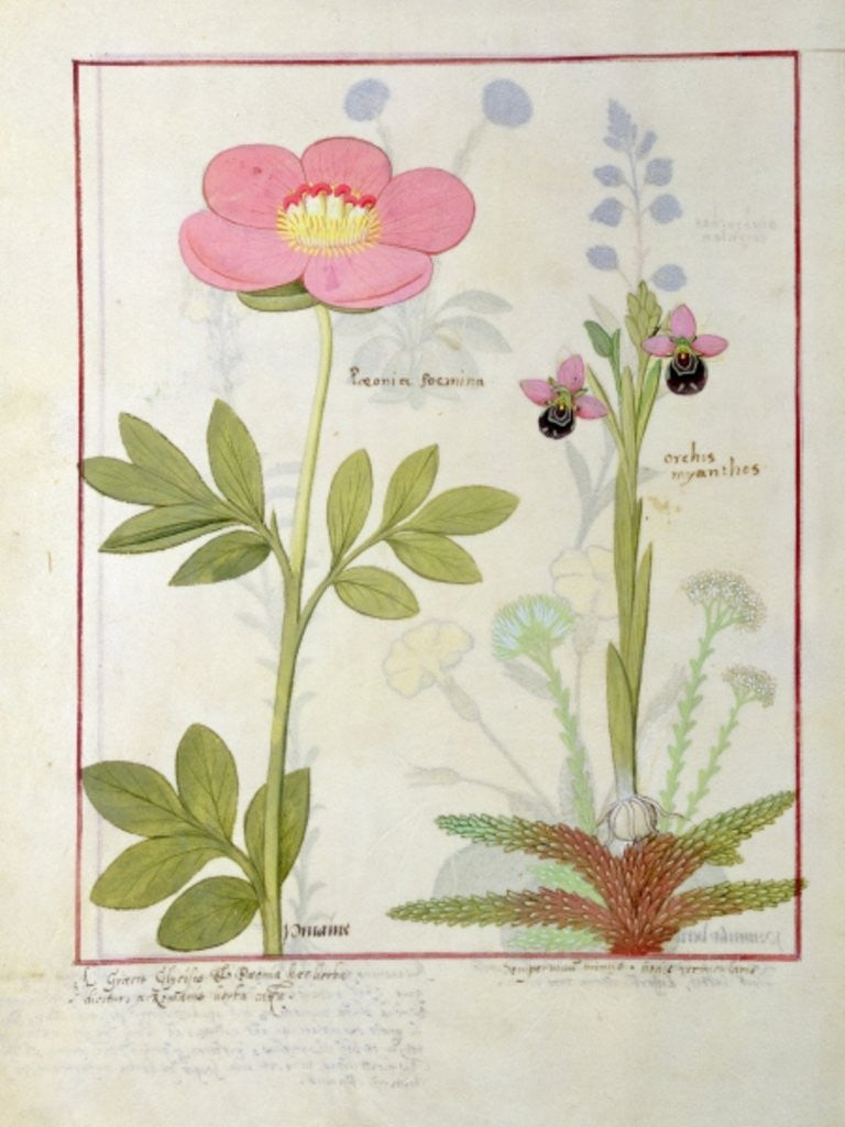 Detail of Paeonia or Peony, and Orchis myanthos by Robinet Testard