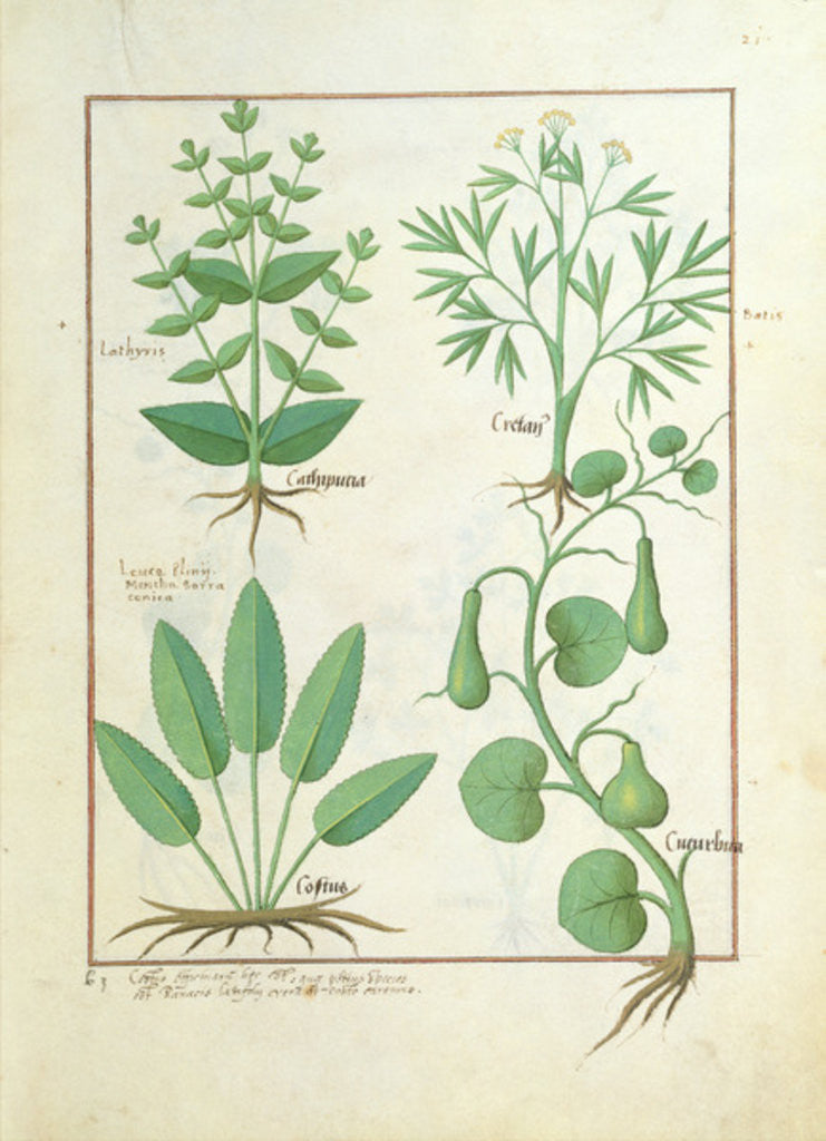 Detail of Euphorbia Lathyris, Beechwort, Mint and Fig by Robinet Testard