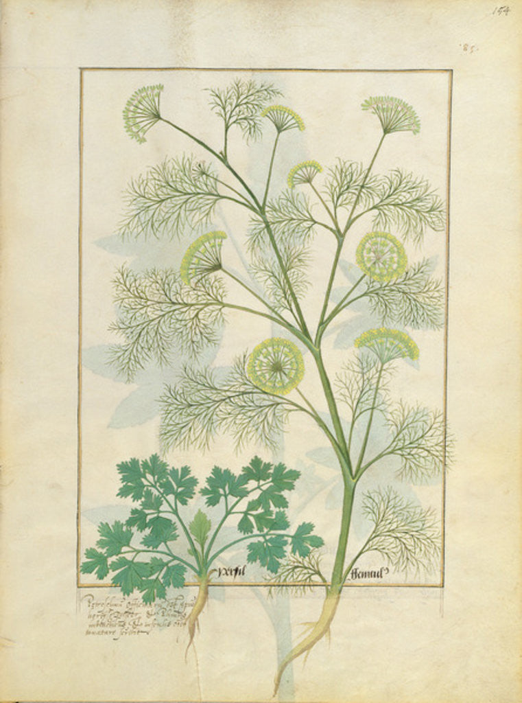 Detail of Parsley and Fennel by Robinet Testard