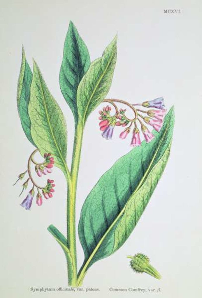 Detail of Common Comfrey, plate MCXVI by James Sowerby