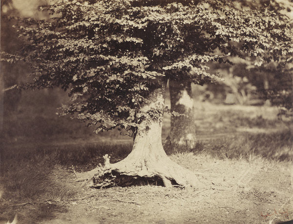 Detail of The Beech Tree by Gustave Le Gray
