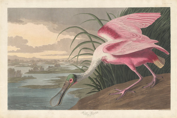 Detail of Roseate Spoonbill by John James Audubon