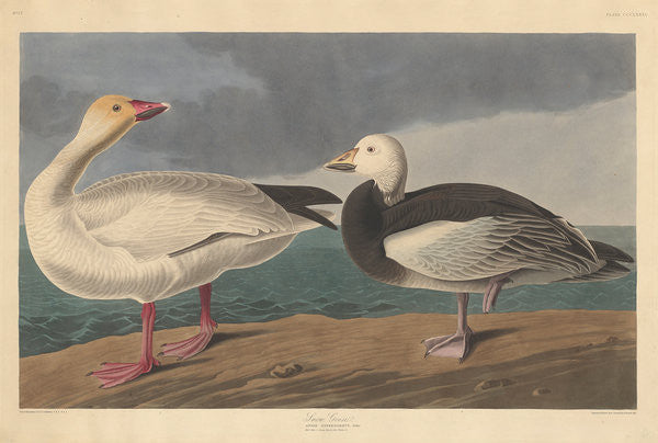 Detail of Snow goose by John James Audubon