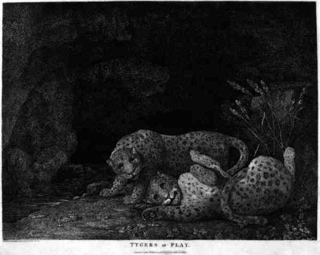 Detail of Tygers at Play, engraved by the artist by George Stubbs