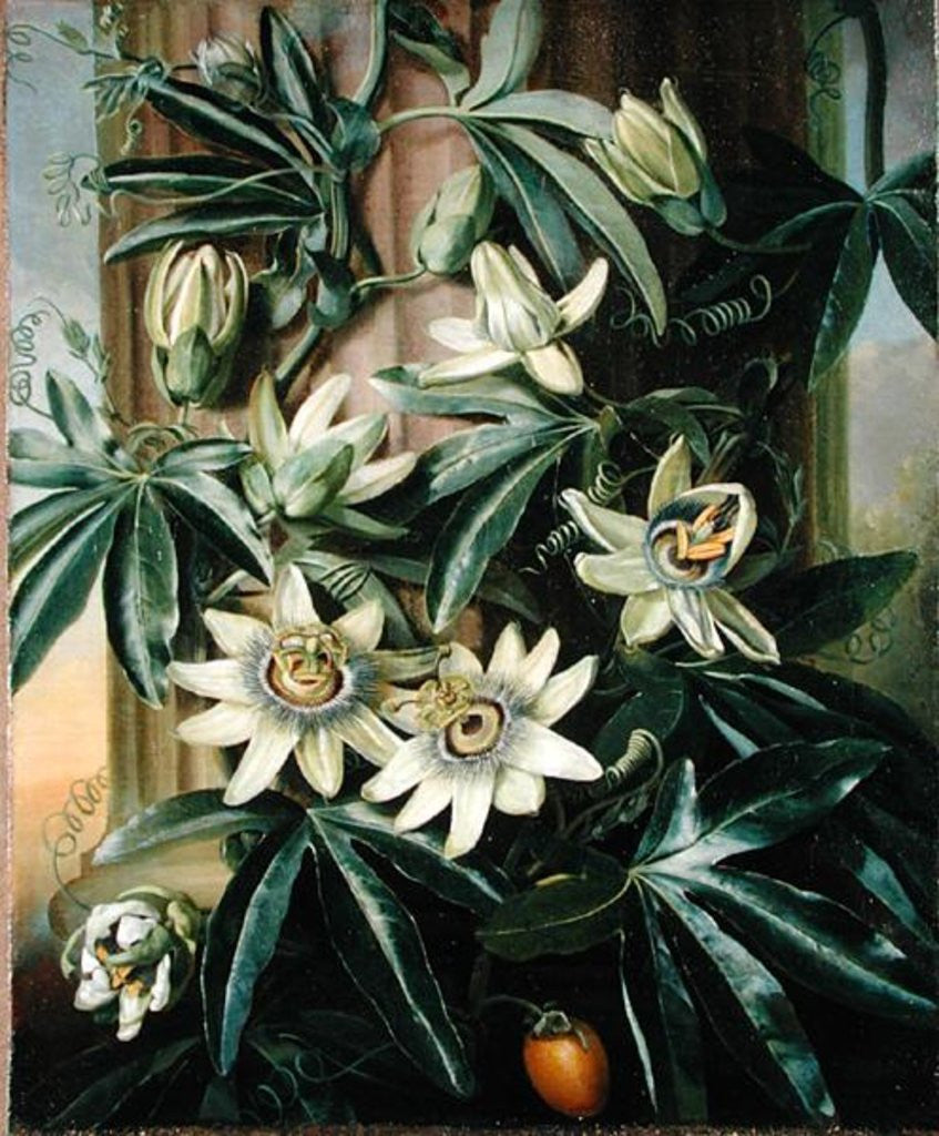 Blue Passion Flower For The Temple Of Flora By Robert Thornton