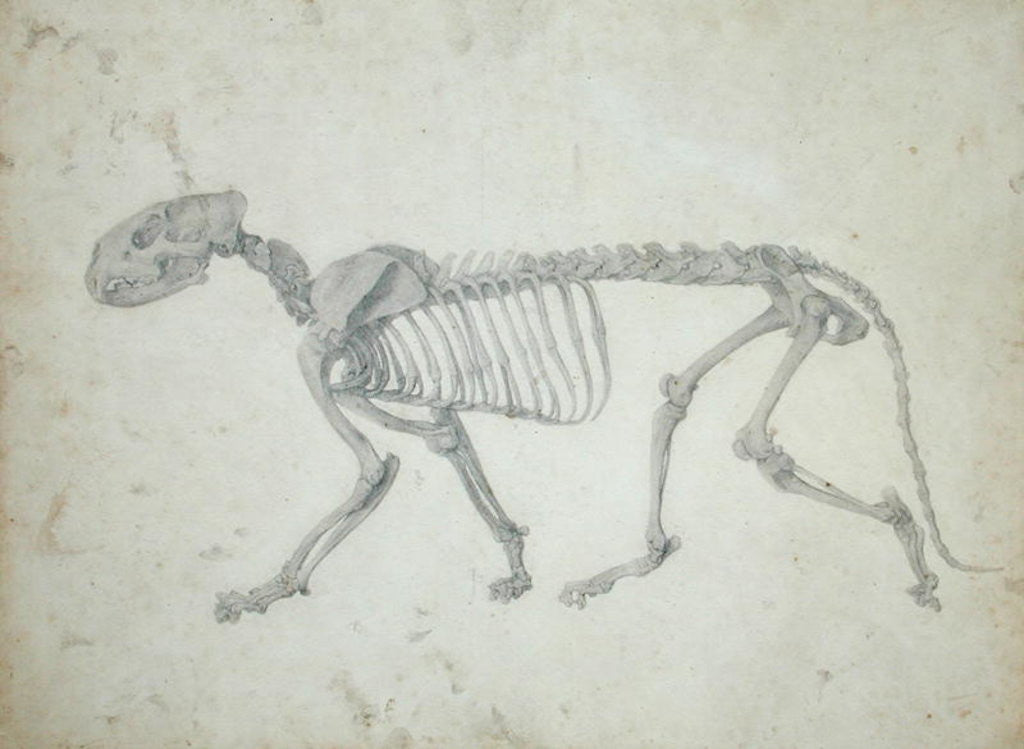 Detail of Lateral View of a Tiger Skeleton by George Stubbs