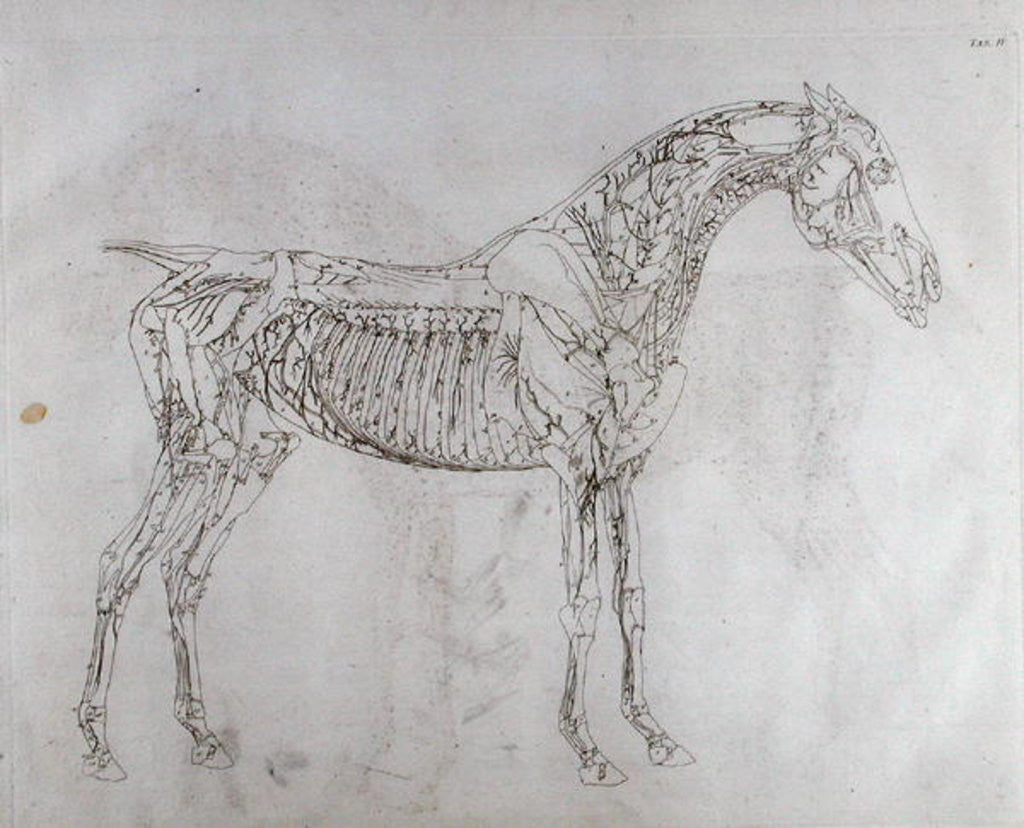 Illustration From The Anatomy Of The Horse Including A Particular