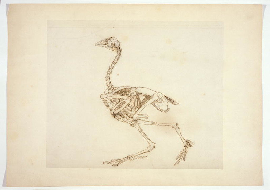 Detail of Dorking Hen Skeleton, Lateral View by George Stubbs