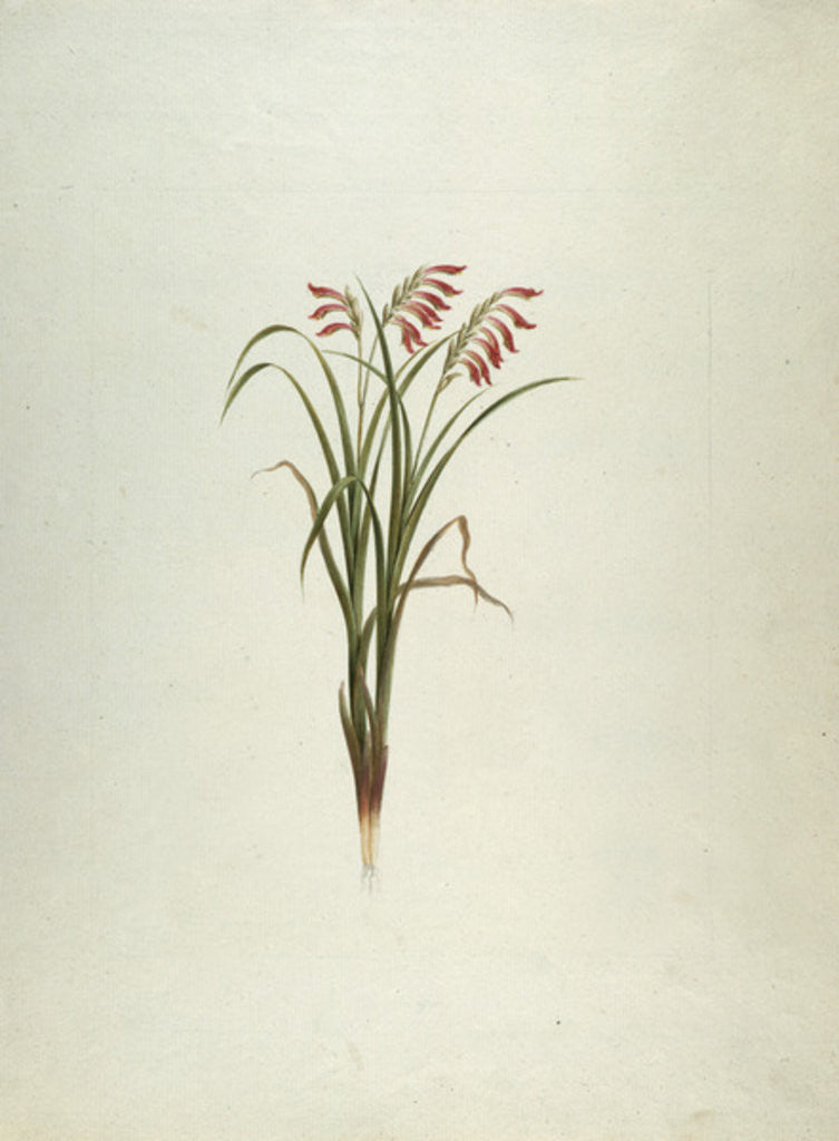 Detail of Unidentified Plant with Flowers by Luigi Balugani