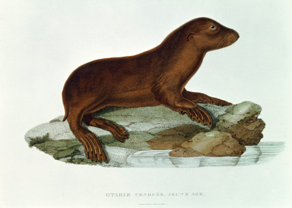 Detail of A Baby Australian Sealion by French School