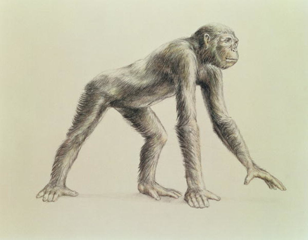 Detail of Dryopithecus Africanus by English School