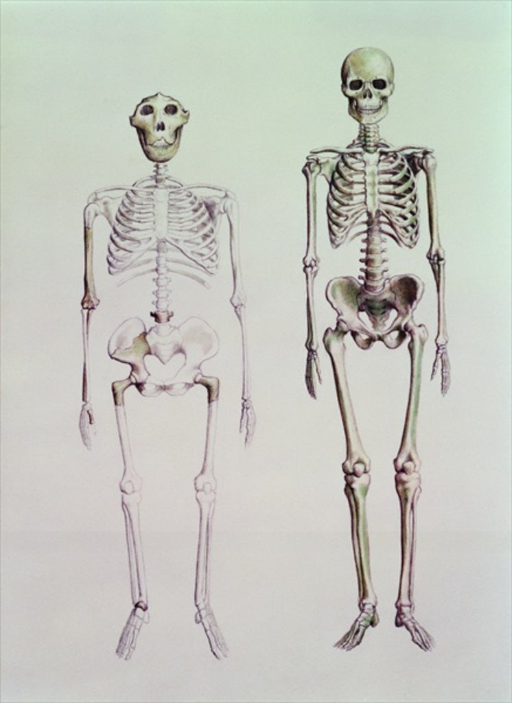 Detail of Skeletons of Australopithecus Boisei and Homo Sapiens by English School