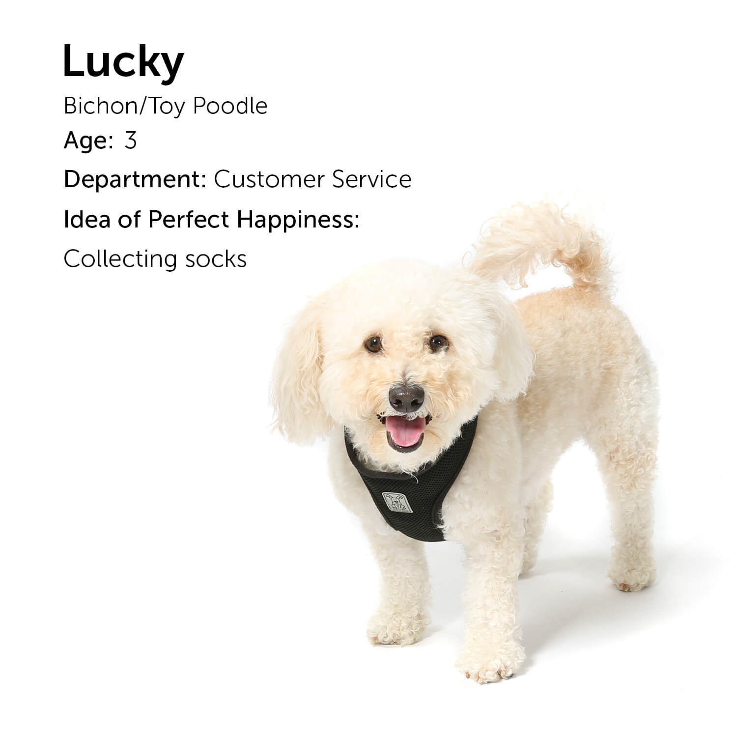 Lucky - Bichon/Toy Poodle