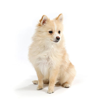 Office Dogs - Celine - Pomeranian