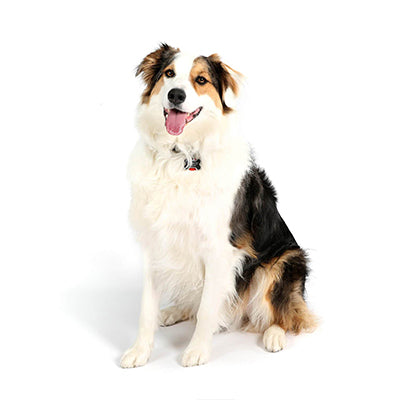 Office Dogs - Indy - Australian Shepard