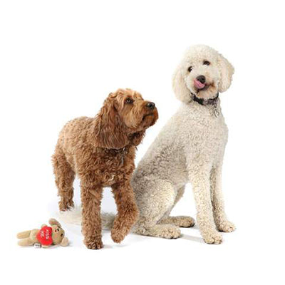 Office Dogs - Isabel - Labradoodle
