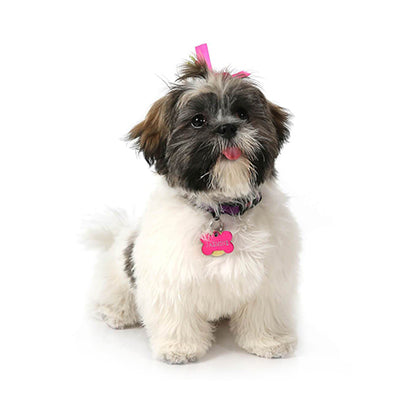 Office Dogs - Jazzy - Shih Tzu and Havanese