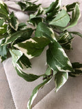 Variegated Pitt pittosporum long stem green leaf greenery