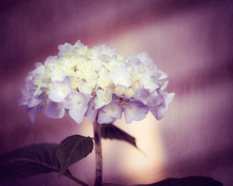 Purple Hydrangea Photography by carolyncochrane.com