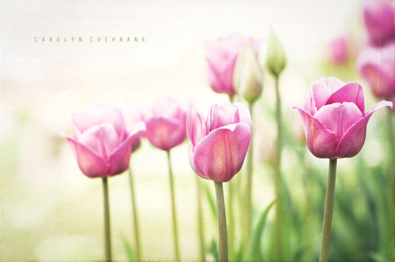 Pink Tulip Photography Art by carolyncochrane.com