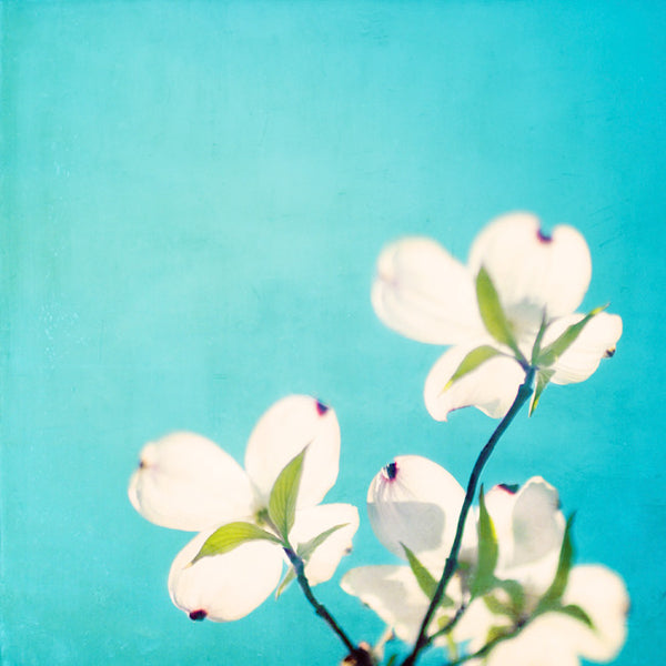 Aqua Dogwood Flower Photography by carolyncochrane.com