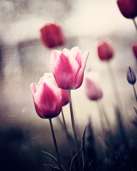Pink and Brown Tulip Art Print by carolyncochrane.com