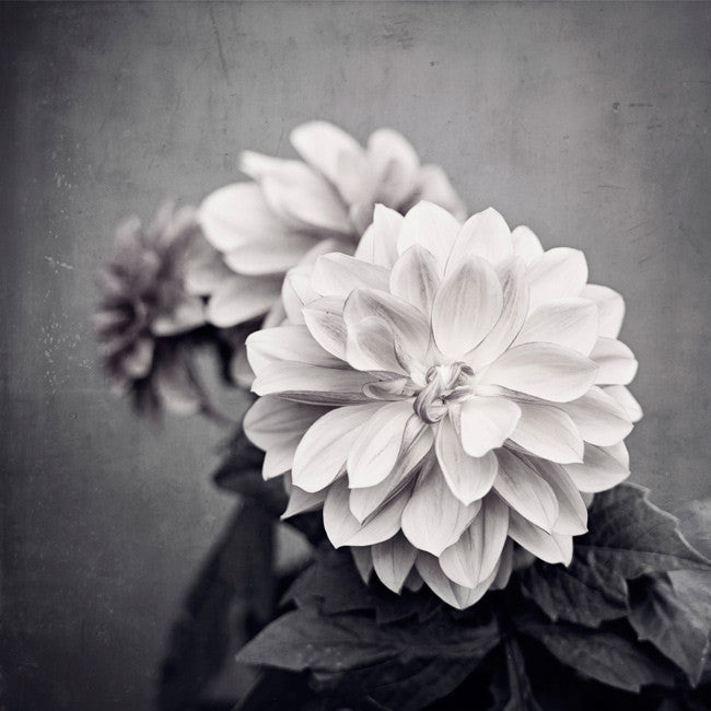 Black And White Dahlia Flower Photography Dahlia Art Carolyn