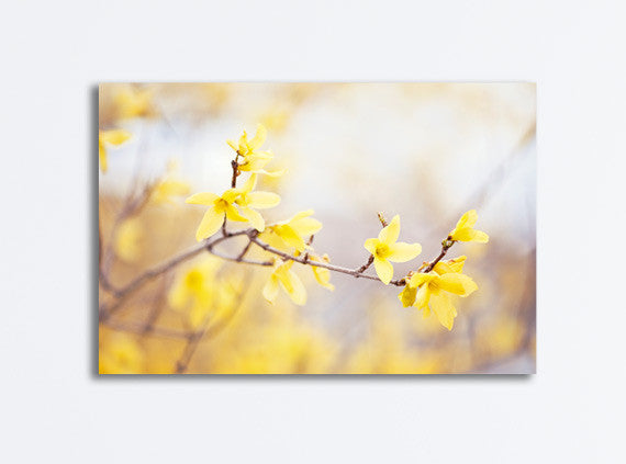 Yellow Forsythia Flower Canvas Photography by carolyncochrane.com