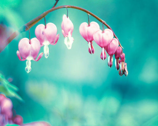 Teal Pink Bleeding Hearts Flower Photography by carolyncochrane.com