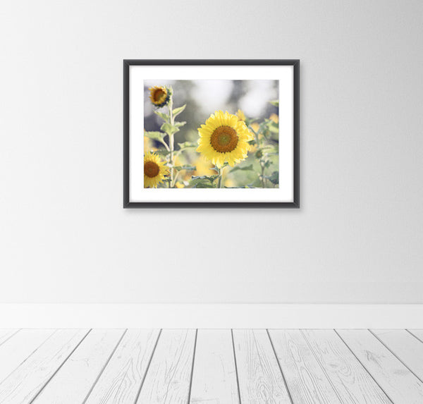 Sunflower Photography Art by carolyncochrane.com