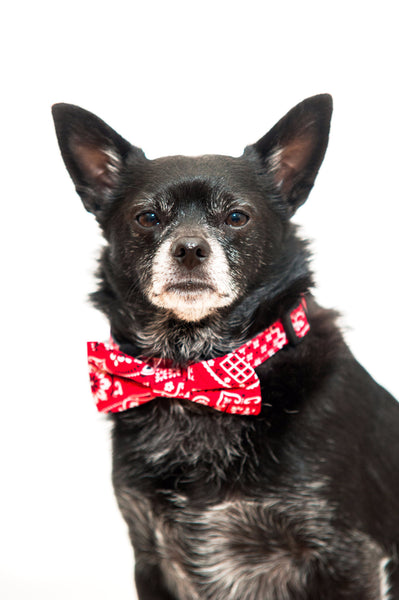 Our red bandana bow tie will make any dog dapper.