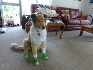 Sport Pawks Waterproof Dog Socks on Elderly Dog