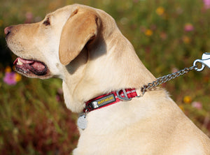 Ruffwear Chain Reaction Dog Collar Close up on Labrador 2