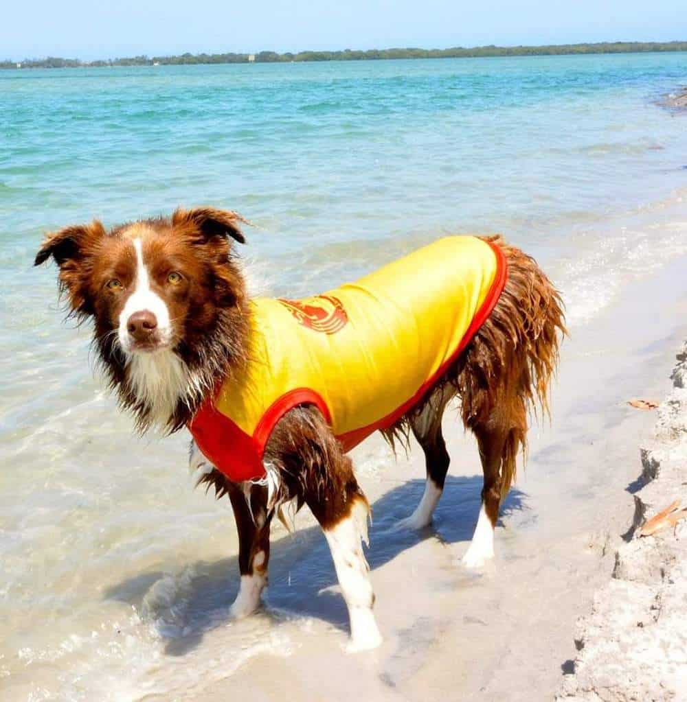 SurfDog Rashie in Yellow on a Border Collie