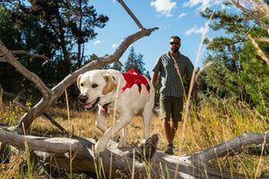 Ruffwear Web Master Harness in Red on a Labrador Walking