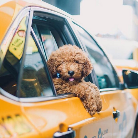 Dog in taxi
