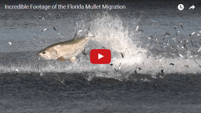 2015 MULLET RUN FOOTAGE [VIDEO] by BlacktipH