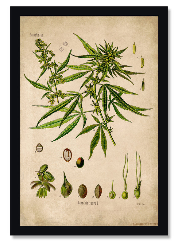 Cannabis Plant Botanical Illustration Poster