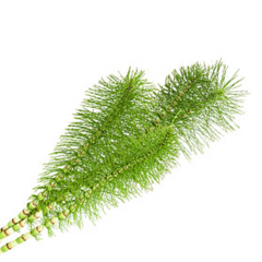Organic Horsetail Leaf Extract helps thicken hair
