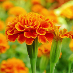 Organic Marigold Flower Extract stops and reverses hair loss