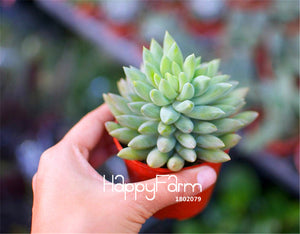 100 Pieces/Bag Best-Selling!Succulent Cactus Seeds Lotus Lithops Bonsai Plants Home Gardening Flower Pots Balcony flower seed