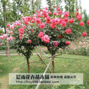 100 Red Rose tree Seeds, DIY Home Garden Potted ,Balcony & Yard Flower Plant