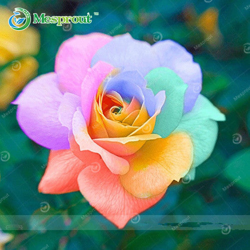 100PCS Flower Seed Holland Rose Seed Lover Gift Orange Green Rainbow RARE 24 Color To Choose DIY Home Gardening Flower