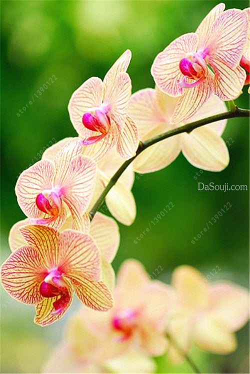 100pcs Cymbidium orchid,Cymbidium seeds,bonsai flower seeds,22 colours to choose,plant for home garden