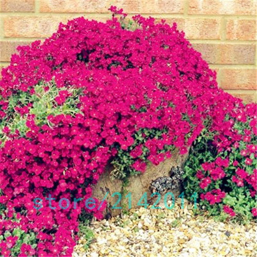 100pcs/bag Creeping Thyme Seeds or Blue ROCK CRESS Seeds - Perennial Ground cover flower ,Natural growth for home garden